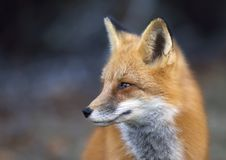 A Red fox Vulpes vulpes closeup in Algonquin Park, Canada. Red fox Vulpes vulpes closeup in Algonquin Park, Canada Stock Images