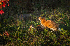 Red Fox Vulpes vulpes Conflict Stock Photos