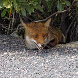 Red Fox (Vulpes vulpes) from Corsica, France Stock Photo