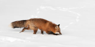 Red Fox (Vulpes vulpes) Creeps Through Snow Stock Photo