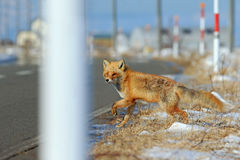 Red fox, Vulpes vulpes, crossing the road Royalty Free Stock Photos