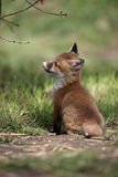Red fox, Vulpes vulpes Stock Images