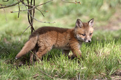 Red fox, Vulpes vulpes Royalty Free Stock Photography