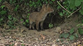 Red Fox, vulpes vulpes, Cubs standing at Den Entrance, Normandy, stock footage