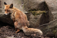 Red fox (Vulpes vulpes). Stock Images