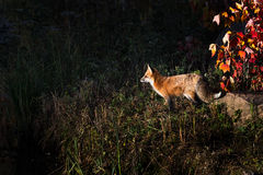 Red Fox (Vulpes vulpes) in Dramatic Light Royalty Free Stock Photos