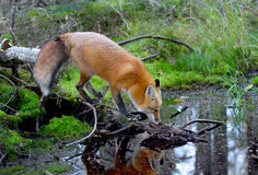 Red fox Vulpes vulpes drinking water in autumn in Algonquin Park in Canada. Red fox Vulpes vulpes with bushy tail drinking water in autumn in Algonquin Park in royalty free stock photo