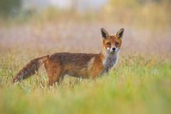 Red fox, vulpes vulpes, early in the morning with blurred background royalty free stock photo
