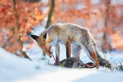 Free Red Fox Vulpes Vulpes Eating A European Hare Lepus Europaeus. Fox In Winter Time With Food. Predator With Prey Stock Photos - 185075003