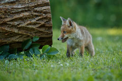Red Fox, Vulpes vulpes, at european forest. Royalty Free Stock Images