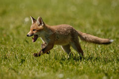 Red Fox, Vulpes vulpes, at european forest. Stock Photo