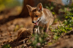 Red Fox, Vulpes vulpes, at european forest. Stock Images