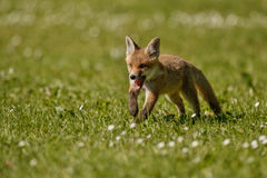 Red Fox, Vulpes vulpes, at european forest. Stock Image