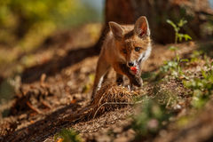 Red Fox, Vulpes vulpes, at european forest. Royalty Free Stock Image