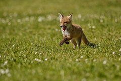 Red Fox, Vulpes vulpes, at european forest. Royalty Free Stock Photos