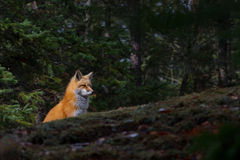 Red fox Vulpes vulpes in the fall in Algonquin Park in Canada royalty free stock photos