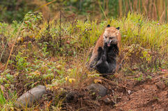 Red Fox (Vulpes vulpes) Fights With Silver Fox Royalty Free Stock Photography