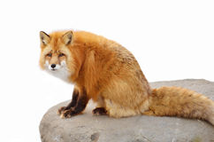 Red fox (Vulpes vulpes) Royalty Free Stock Images