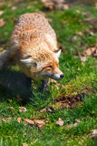 Red Fox (Vulpes vulpes) Royalty Free Stock Photography