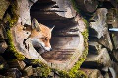 Red Fox (Vulpes vulpes) Royalty Free Stock Image