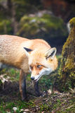 Red Fox (Vulpes vulpes) Stock Images