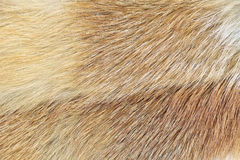 Red fox (Vulpes vulpes) fur background Stock Image