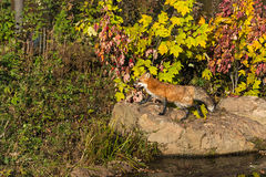 Red Fox (Vulpes vulpes) Going Left on Rock Stock Images