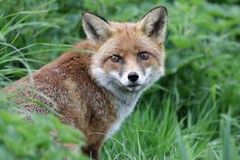 Red fox, Vulpes vulpes Stock Photo