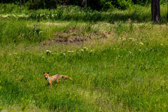 Red fox Vulpes Vulpes on green meadow. Fox in the wild Stock Images