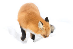 Red fox (Vulpes vulpes) with a bushy tail isolated on white background hunting in the freshly fallen snow in Algonquin. Red fox Vulpes vulpes with stock photo