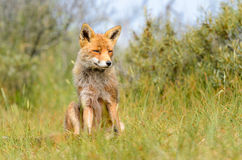 Red fox (Vulpes vulpes) Stock Photos