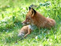 Red Fox (Vulpes vulpes) Royalty Free Stock Photo