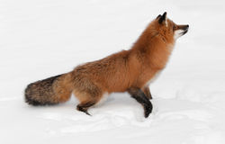 Red Fox (Vulpes vulpes) Jumps Up Royalty Free Stock Photography