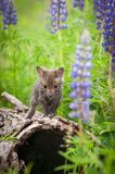 Red Fox Vulpes vulpes Kit Alone Atop Log Royalty Free Stock Images