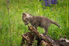 Red Fox Vulpes vulpes Kit Atop Log Royalty Free Stock Image