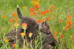 Red Fox (Vulpes vulpes) Kit Balances on Log Stock Photo