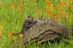 Red Fox Vulpes vulpes Kit Climbs Up Log. Captive animal Stock Photography