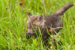 Red Fox Vulpes vulpes Kit Creeps Through Grass. Captive animal Stock Photography