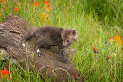 Red Fox Vulpes vulpes Kit Looks Back From Atop Log Summer royalty free stock photography