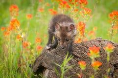 Red Fox Vulpes vulpes Kit Looks Down from Log. Captive animal Stock Photos