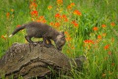 Red Fox Vulpes vulpes Kit Looks Down Log. Captive animal Royalty Free Stock Photography