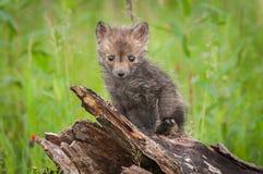 Red Fox Vulpes vulpes Kit Sits Atop Log Royalty Free Stock Photos