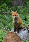 Red fox Vulpes vulpes kit sitting on a log in autumn in Algonquin Park in Canada royalty free stock photo
