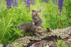Red Fox Vulpes vulpes Kit Stands On Sibling. Captive animal Stock Photo