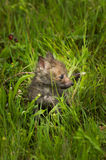 Red Fox Vulpes vulpes Kit Turned Right in the Grass Stock Image