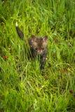 Red Fox Vulpes vulpes Kit Walks Through Grass. Captive animal Royalty Free Stock Image