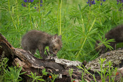 Red Fox Vulpes vulpes Kits Clamber Across Log Royalty Free Stock Photos