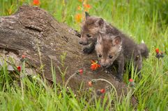 Red Fox Vulpes vulpes Kits Clamber Over Log Royalty Free Stock Images