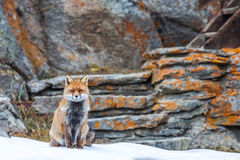 Red fox (Vulpes vulpes). The red fox (Vulpes vulpes) is the largest of the true foxes and the most abundant wild member of the Carnivora Stock Photography