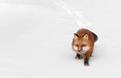 Red Fox (Vulpes vulpes) Licks Nose Stock Images